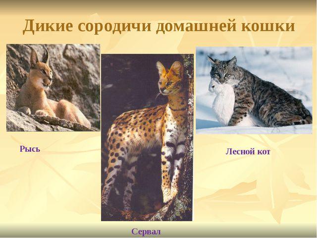 Дикие сородичи домашней кошки Рысь Сервал Лесной кот