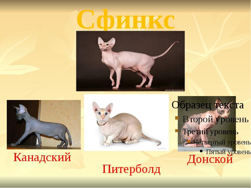Сфинкс Канадский Питерболд Донской