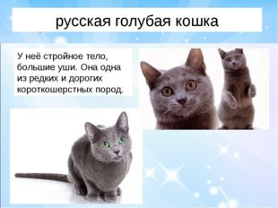 русская голубая кошка У неё стройное тело, большие уши. Она одна из редких и