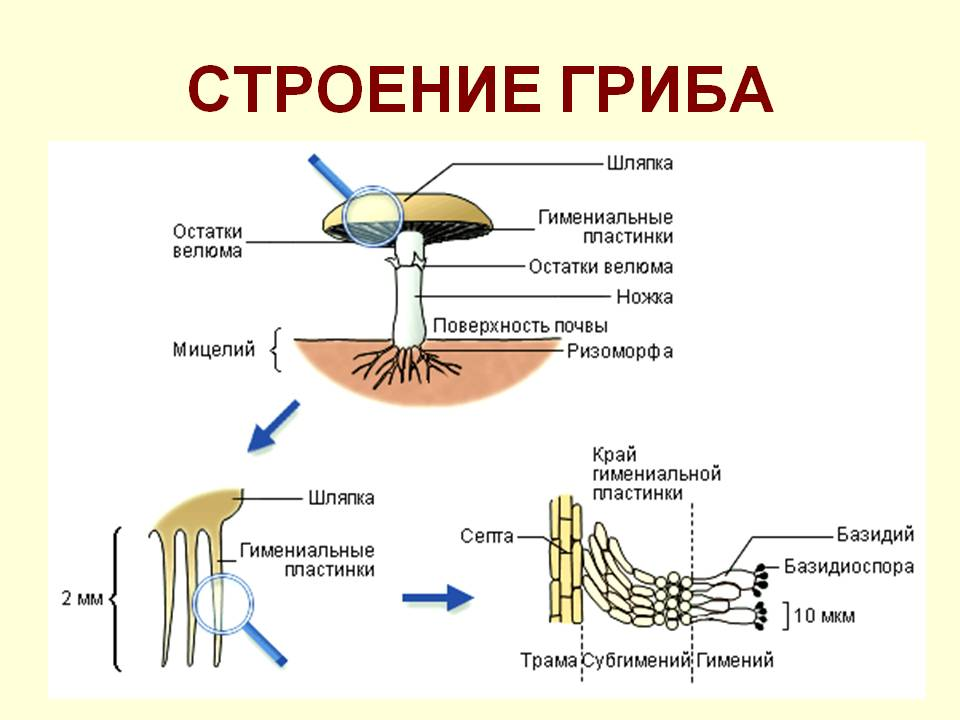 http://900igr.net/datas/biologija/Klassy-gribov/0005-005-Stroenie-griba.jpg