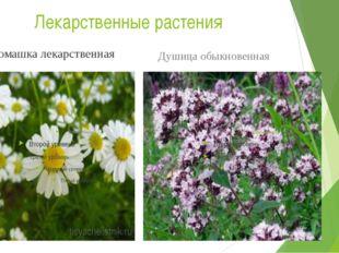 Лекарственные растения Ромашка лекарственная Душица обыкновенная