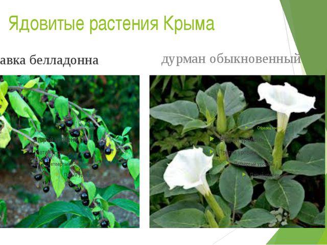 Ядовитые растения Крыма красавка белладонна дурман обыкновенный