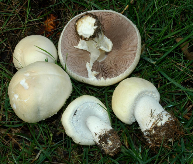 C:\Documents and Settings\Администратор\Мои документы\Downloads\Agaricus arvensis 0_small2.jpg