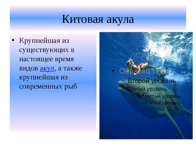 Китовая акула Крупнейшая из существующих в настоящее время видовакул, а такж...