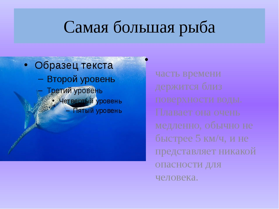 Самая большая рыба Эта рыба бо́льшую часть времени держится близ поверхности...
