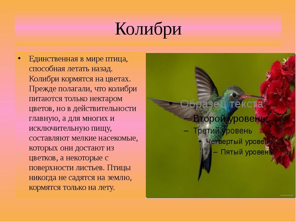 Колибри Единственная в мире птица, способная летать назад. Колибри кормятся н...