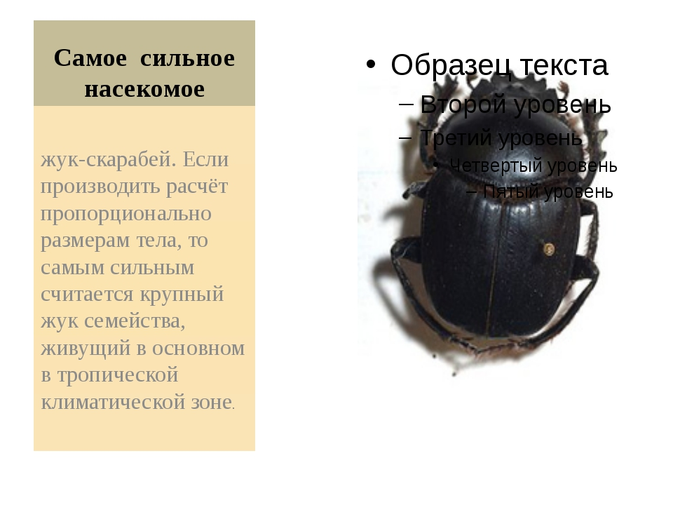 Самое сильное насекомое жук-скарабей. Если производить расчёт пропорционально...