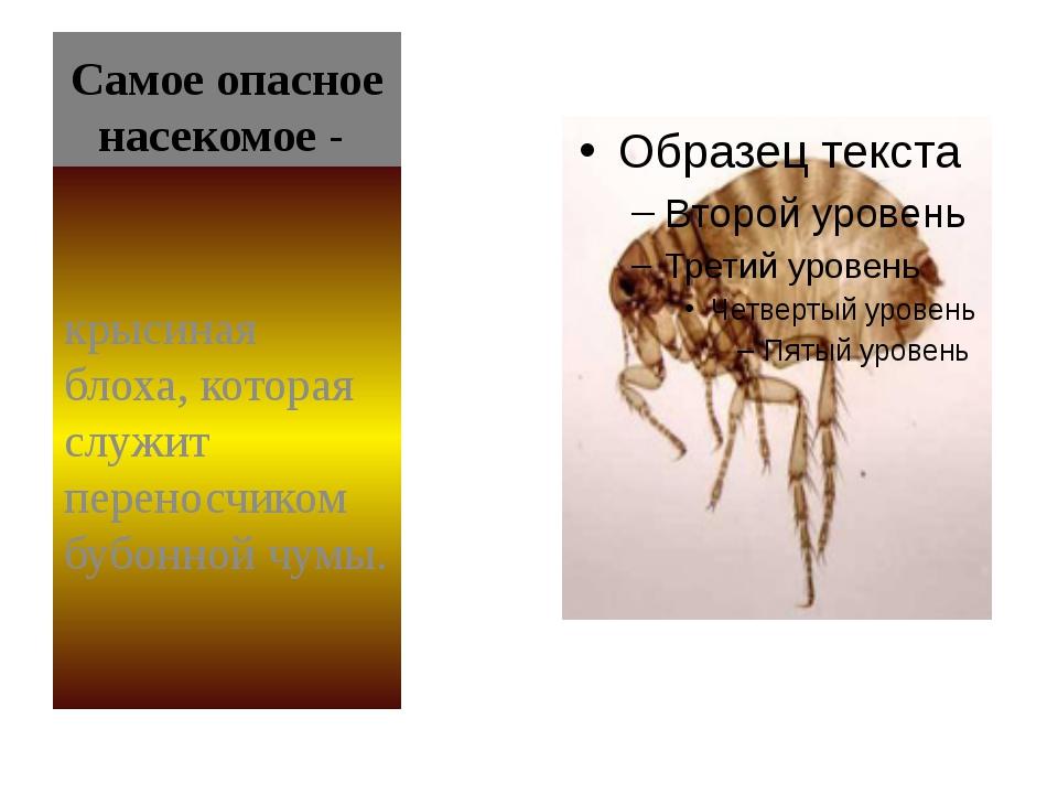 Самое опасное насекомое- крысиная блоха, которая служит переносчиком бубонн...