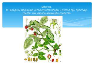 Малина. В народной медицине используются плоды и листья при простуде, гриппе,