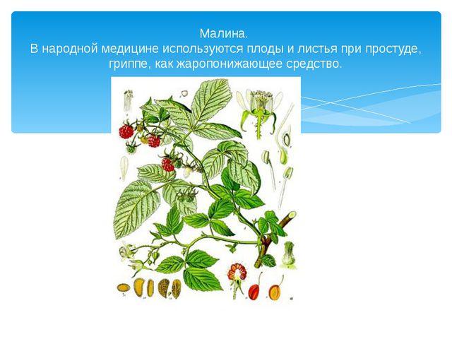 Малина. В народной медицине используются плоды и листья при простуде, гриппе,...