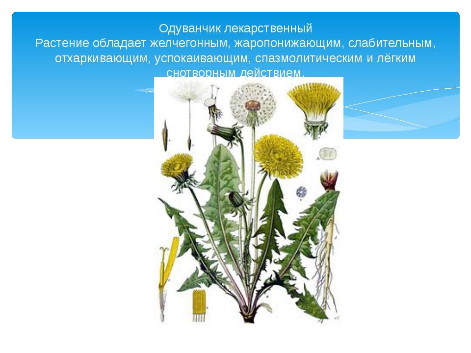 Одуванчик лекарственный Растение обладает желчегонным, жаропонижающим, слабит...