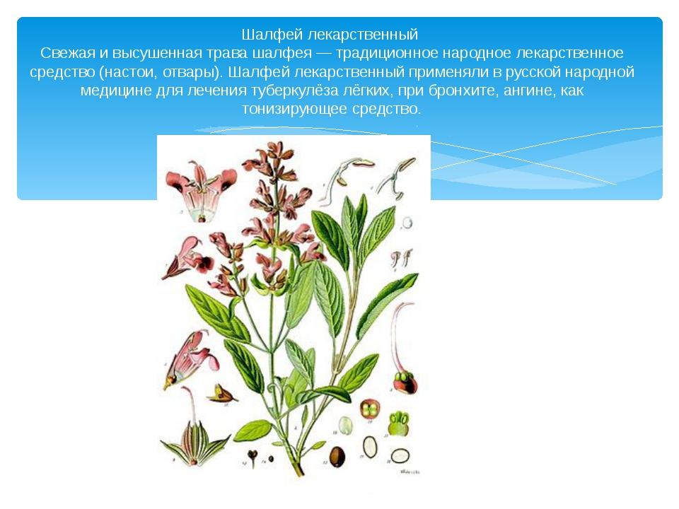 Шалфей лекарственный Свежая и высушенная трава шалфея — традиционное народное...