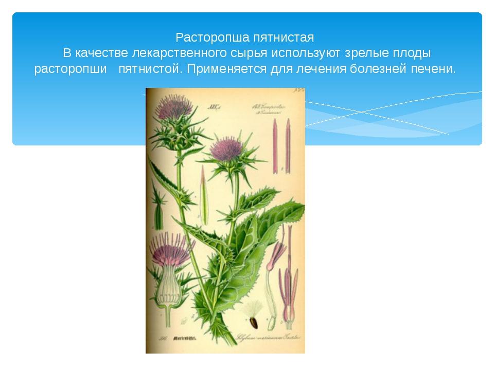Расторопша пятнистая В качестве лекарственного сырья используют зрелые плоды...