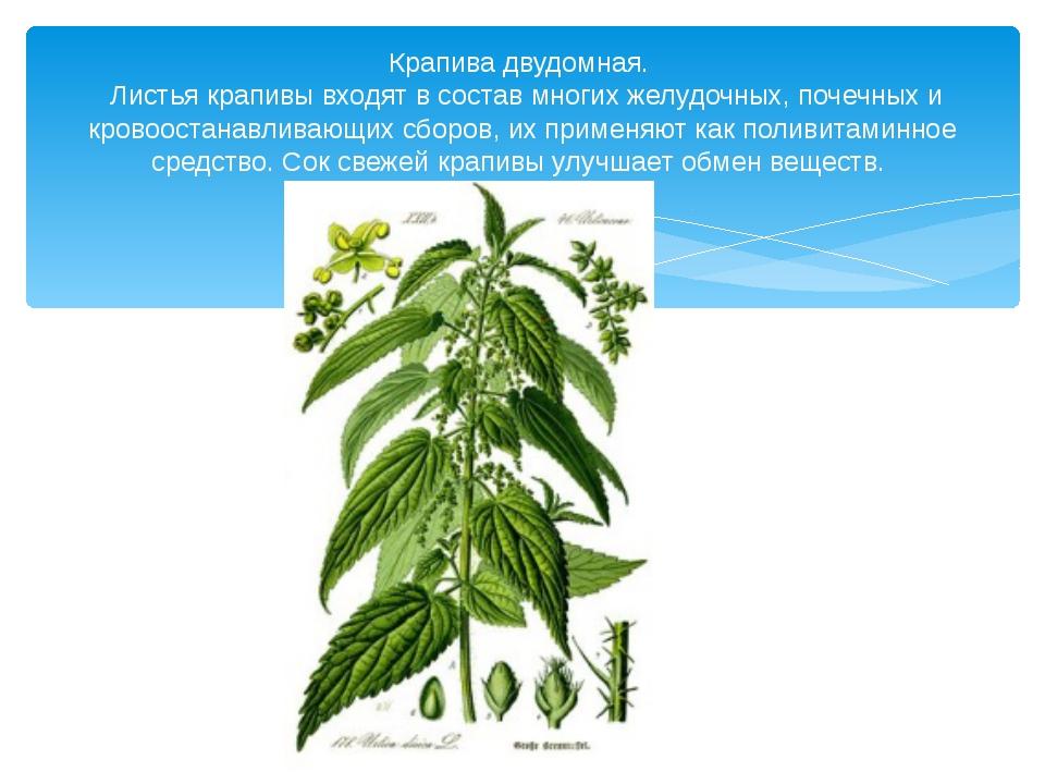 Крапива двудомная. Листья крапивы входят в состав многих желудочных, почечны...