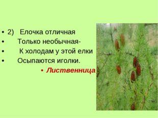 2) Елочка отличная Только необычная-  К холодам у этой елки Осыпаются игол