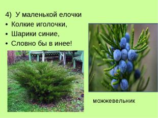 4) У маленькой елочки Колкие иголочки, Шарики синие, Словно бы в инее! можжев