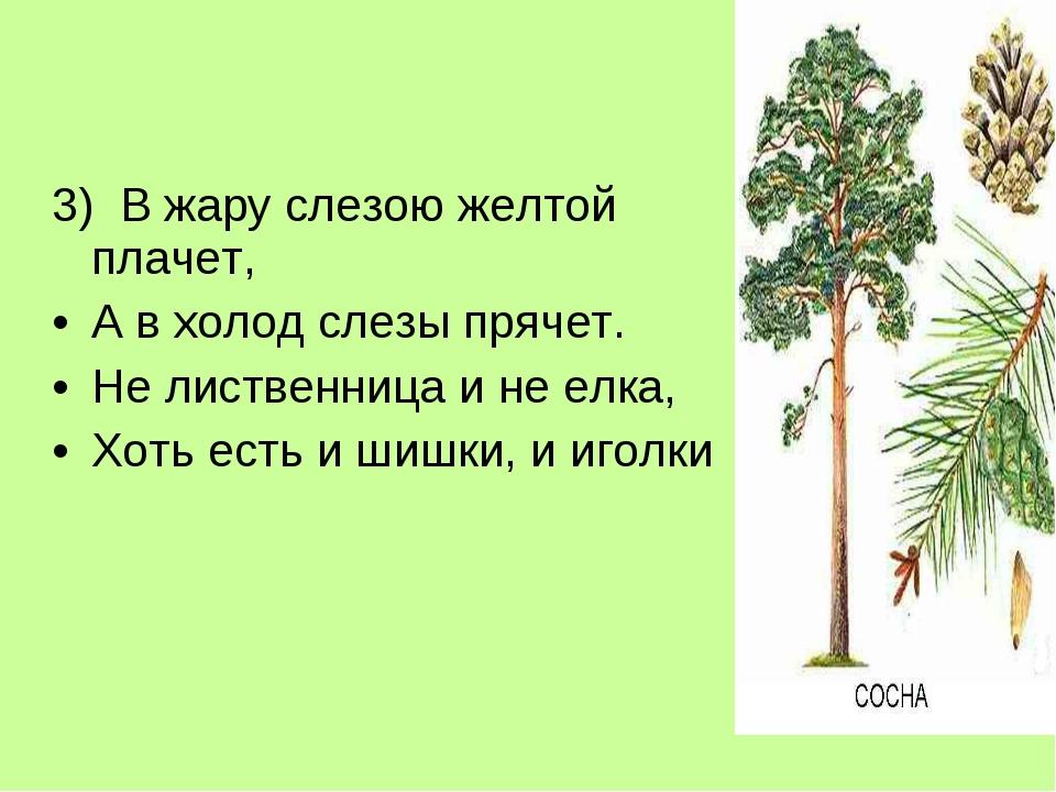 3) В жару слезою желтой плачет, А в холод слезы прячет.  Не лиственница и н...
