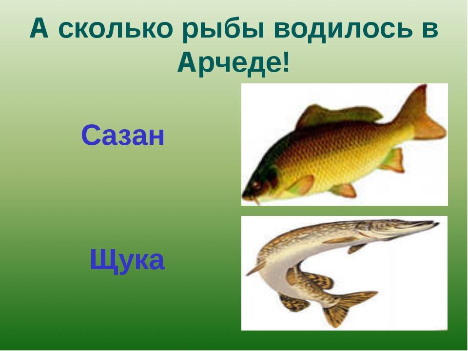 А сколько рыбы водилось в Арчеде! Сазан Щука