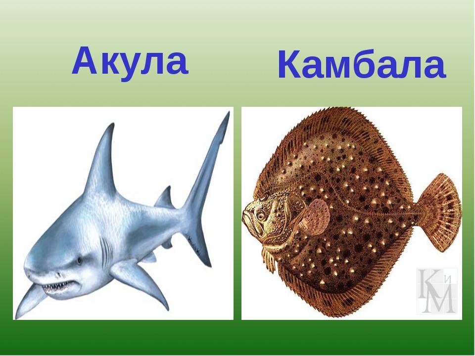 Акула Камбала
