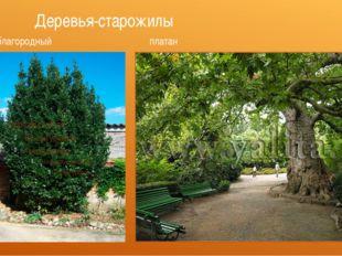 Деревья-старожилы лавр благородный платан