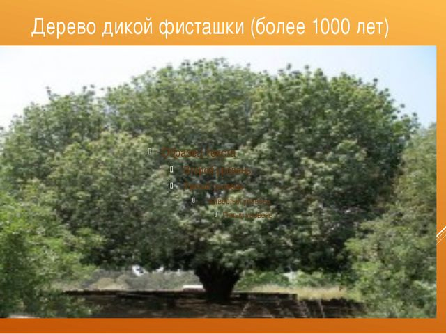 Дерево дикой фисташки (более 1000 лет)