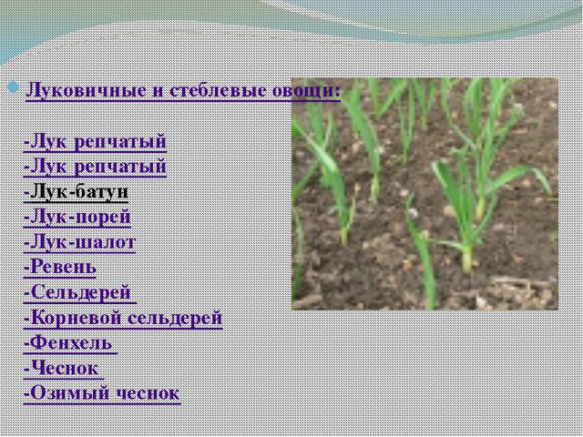 Луковичные и стеблевые овощи: -Лук репчатый -Лук репчатый -Лук-батун -Лук-по...