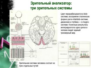 Зрительный анализатор: три зрительных системы Зрительная система человека сос