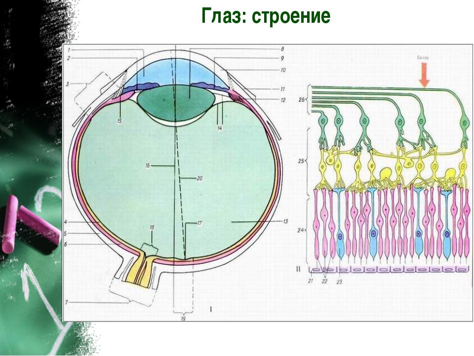 Глаз: строение