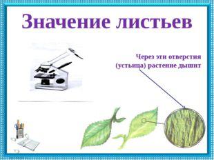 Значение листьев Через эти отверстия (устьица) растение дышит