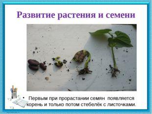 Развитие растения и семени Первым при прорастании семян появляется корень и т