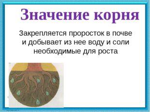Значение корня Закрепляется проросток в почве и добывает из нее воду и соли н