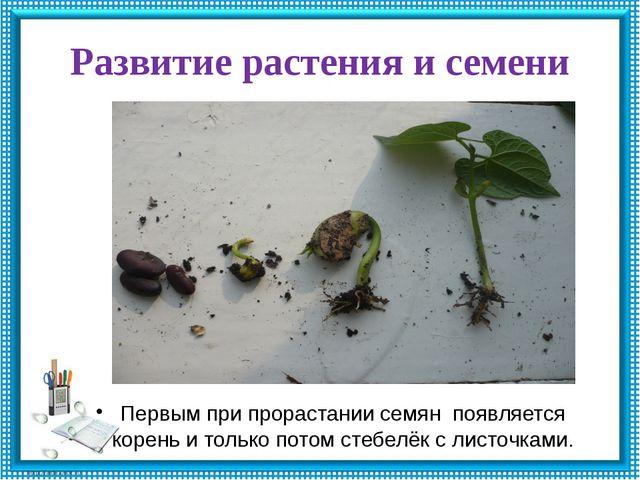 Развитие растения и семени Первым при прорастании семян появляется корень и т...