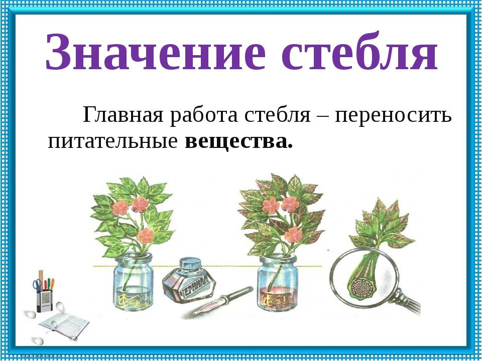 Значение стебля Главная работа стебля – переносить питательные вещества.