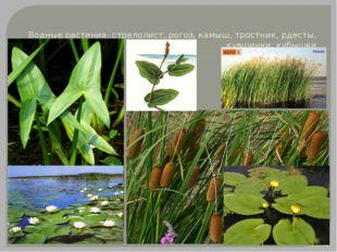 Водные растения: стрелолист, рогоз, камыш, тростник, рдесты, кувшинки, кубышки