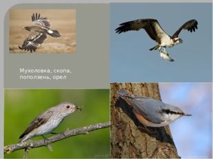 Мухоловка, скопа, поползень, орел