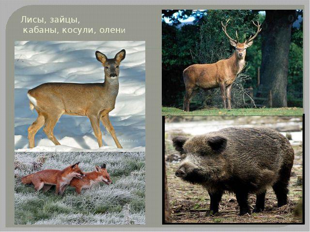 Лисы, зайцы, кабаны, косули, олени