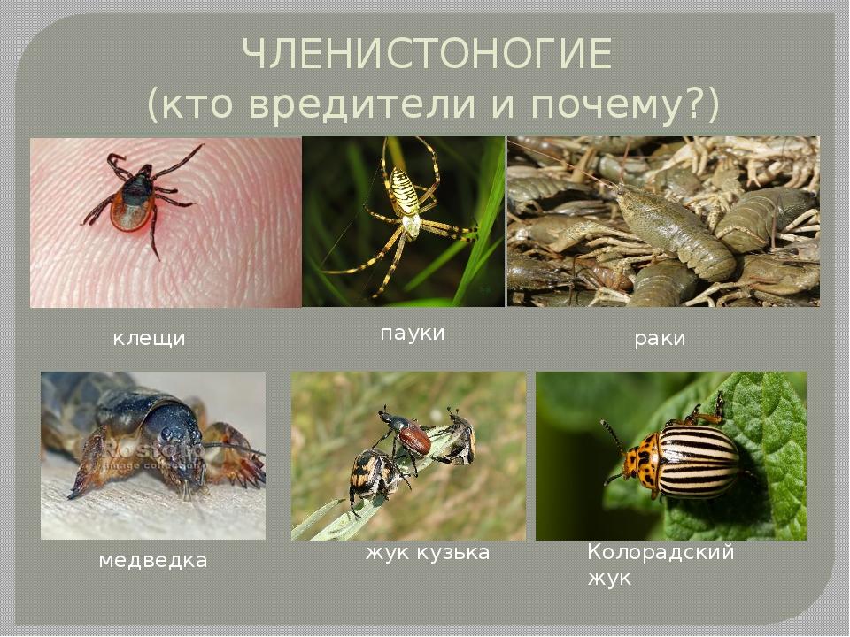 ЧЛЕНИСТОНОГИЕ (кто вредители и почему?) клещи пауки раки медведка жук кузька...