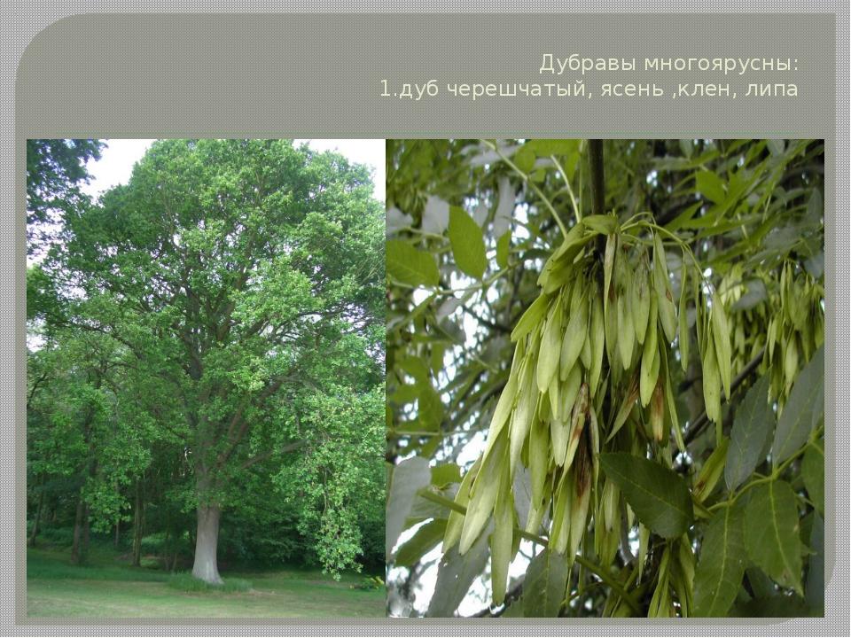 Дубравы многоярусны: 1.дуб черешчатый, ясень ,клен, липа