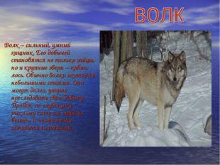 Волк – сильный, умный хищник. Его добычей становятся не только зайцы, но и к