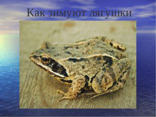 Как зимуют лягушки