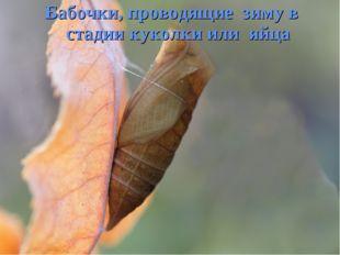 Бабочки, проводящие зиму в стадии куколки или яйца