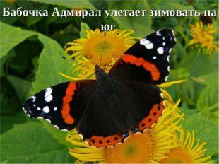 Бабочка Адмирал улетает зимовать на юг