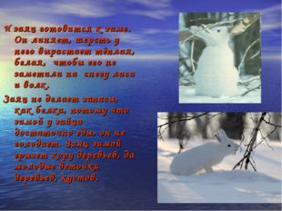 И заяц готовится к зиме. Он линяет, шерсть у него вырастает тёплая, белая, чт