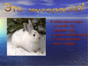 У зайца нет ни норы, ни гнезда. Он прячется под кустом. Иногда ямку в снегу в