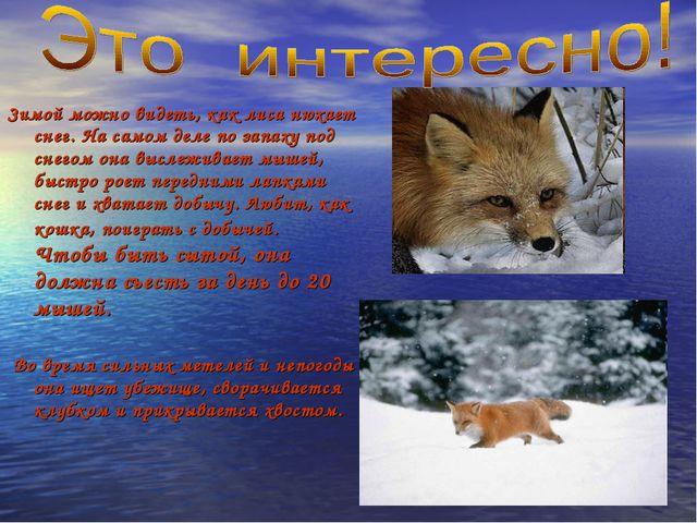 Зимой можно видеть, как лиса нюхает снег. На самом деле по запаху под снегом...