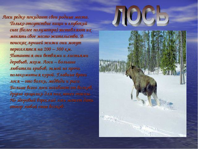 Лоси редко покидают свои родные места. Только отсутствие пищи и глубокий снег...