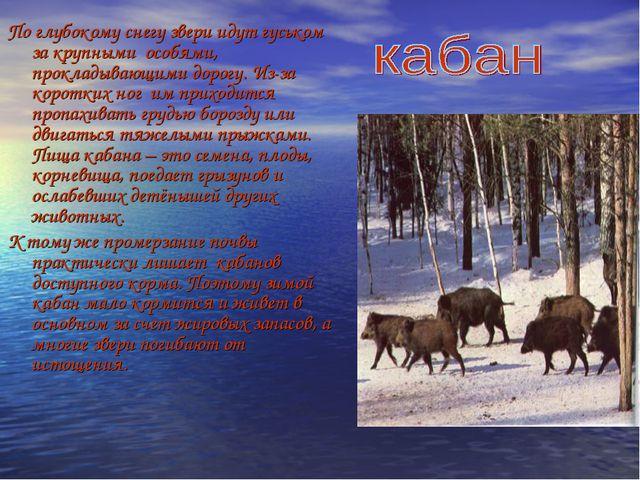 По глубокому снегу звери идут гуськом за крупными особями, прокладывающими до...
