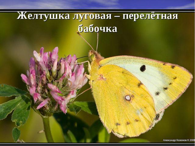 Желтушка луговая – перелётная бабочка