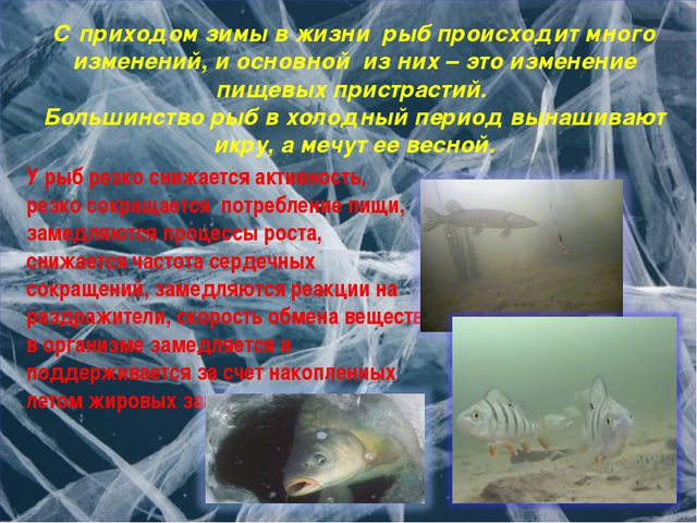 С приходом зимы в жизни рыб происходит много изменений, и основной из них – э...