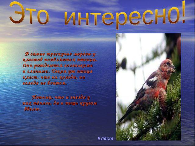 В самые трескучие морозы у клестов появляются птенцы. Они рождаются голеньки...